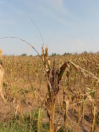Corn field in US drought 2012